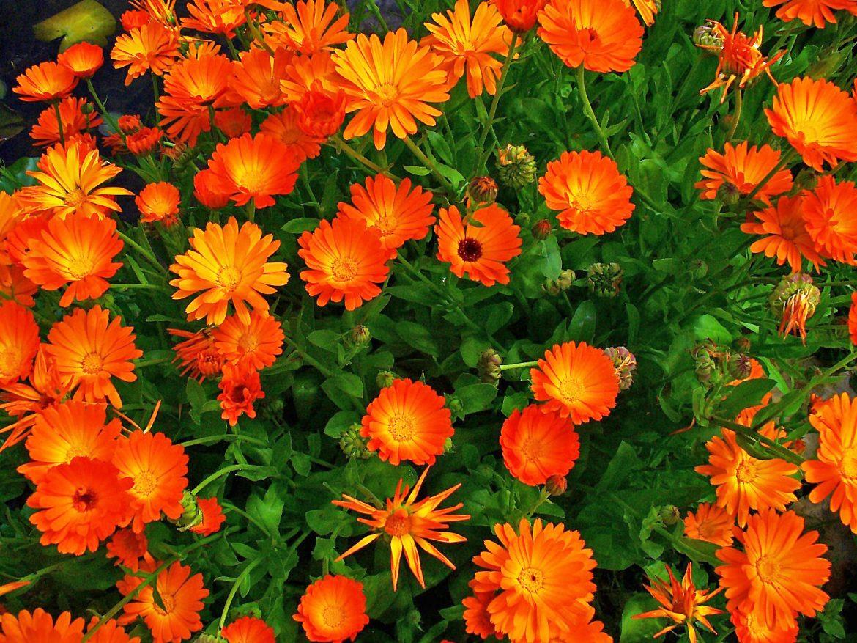 piante antizanzare