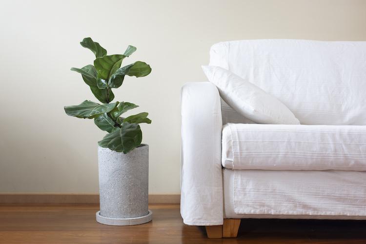 Un Ficus lyrata accanto al divano